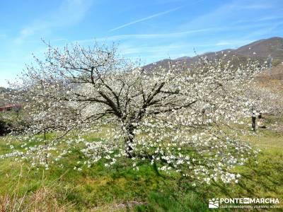 Cerezos en flor en el Valle del Jerte - Rosaceas;viajar solo grazalema camino